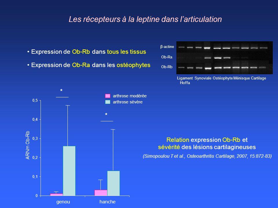 Les récepteurs à la leptine dans l'articulation