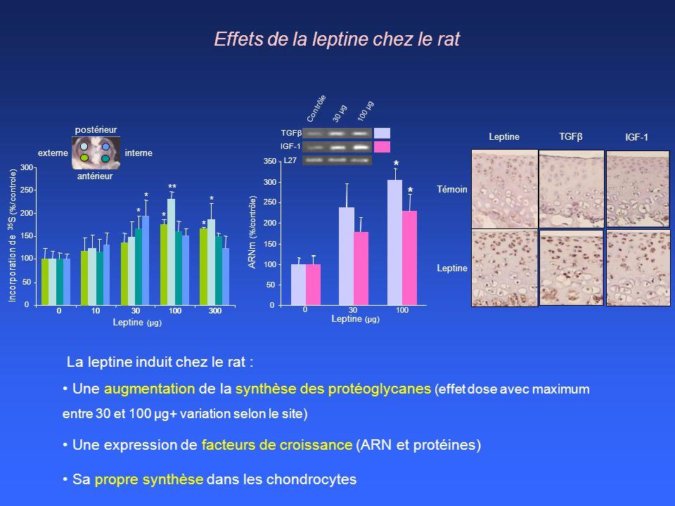 Effets de la leptine chez le rat