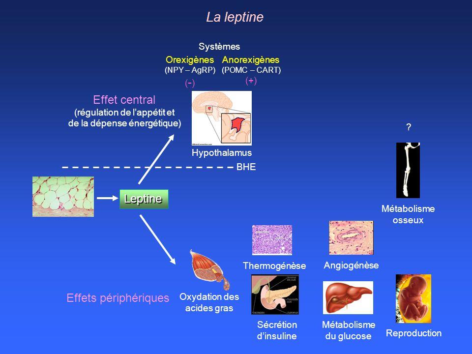 La leptine Effet central Leptine Effets périphériques Systèmes