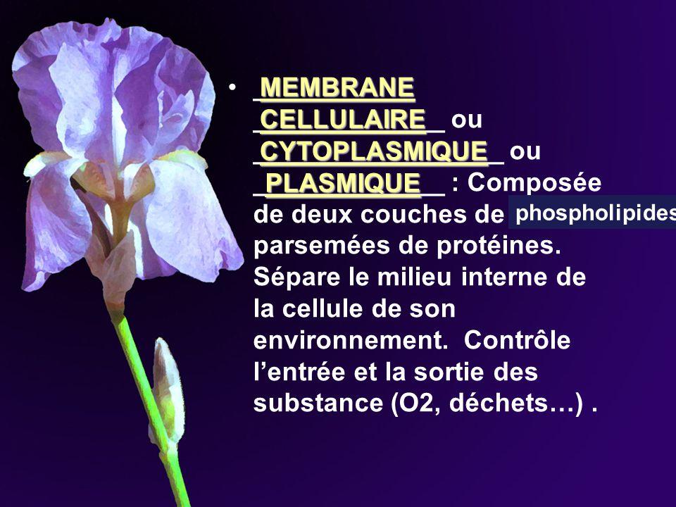 ___________ _____________ ou _________________ ou _____________ : Composée de deux couches de lipides parsemées de protéines. Sépare le milieu interne de la cellule de son environnement. Contrôle l'entrée et la sortie des substance (O2, déchets…) .