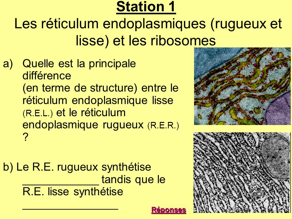 Station 1 Les réticulum endoplasmiques (rugueux et lisse) et les ribosomes
