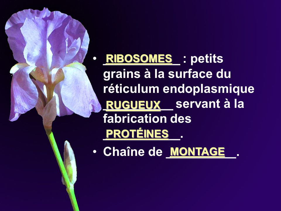 ___________ : petits grains à la surface du réticulum endoplasmique __________ servant à la fabrication des ___________.