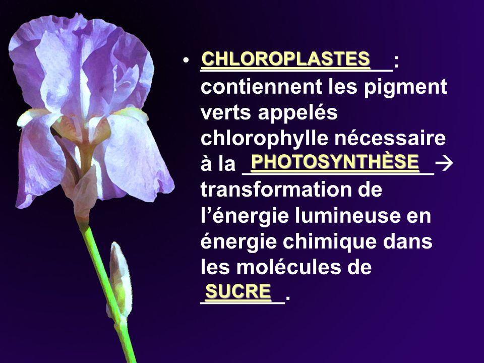 ________________: contiennent les pigment verts appelés chlorophylle nécessaire à la ________________ transformation de l'énergie lumineuse en énergie chimique dans les molécules de _______.