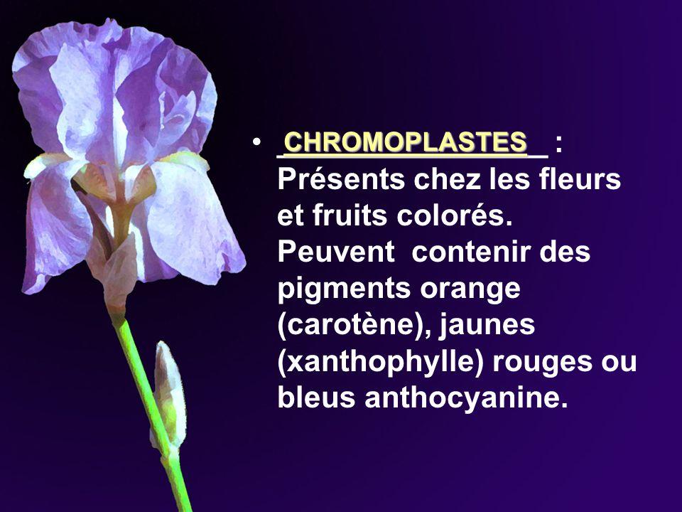 ________________ : Présents chez les fleurs et fruits colorés