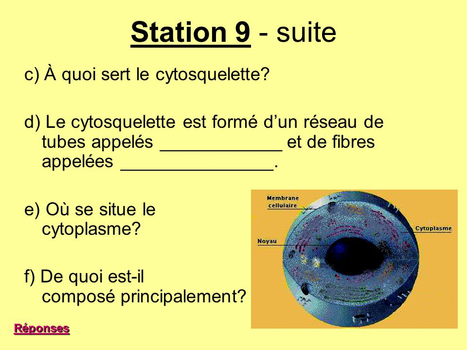 Station 9 - suite c) À quoi sert le cytosquelette