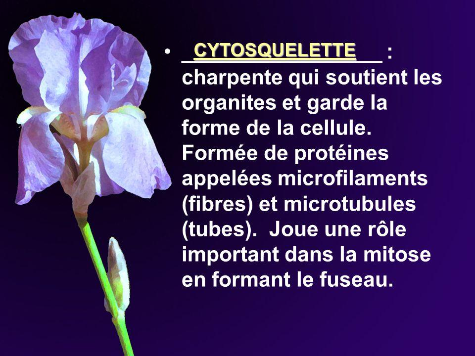 _________________ : charpente qui soutient les organites et garde la forme de la cellule. Formée de protéines appelées microfilaments (fibres) et microtubules (tubes). Joue une rôle important dans la mitose en formant le fuseau.