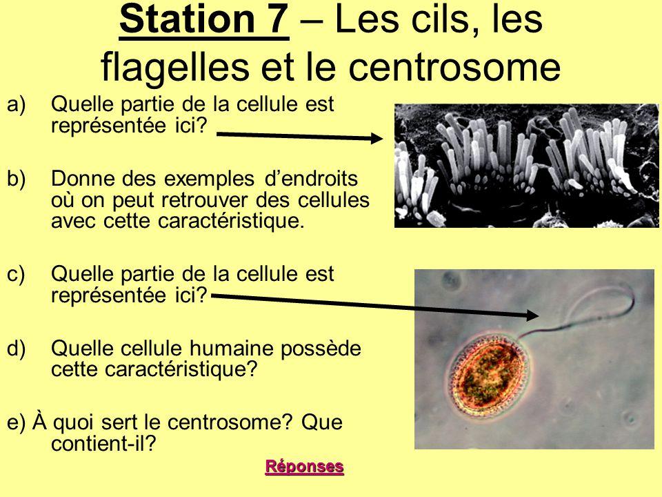Station 7 – Les cils, les flagelles et le centrosome