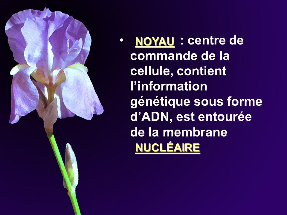 : centre de commande de la cellule, contient l'information génétique sous forme d'ADN, est entourée de la membrane