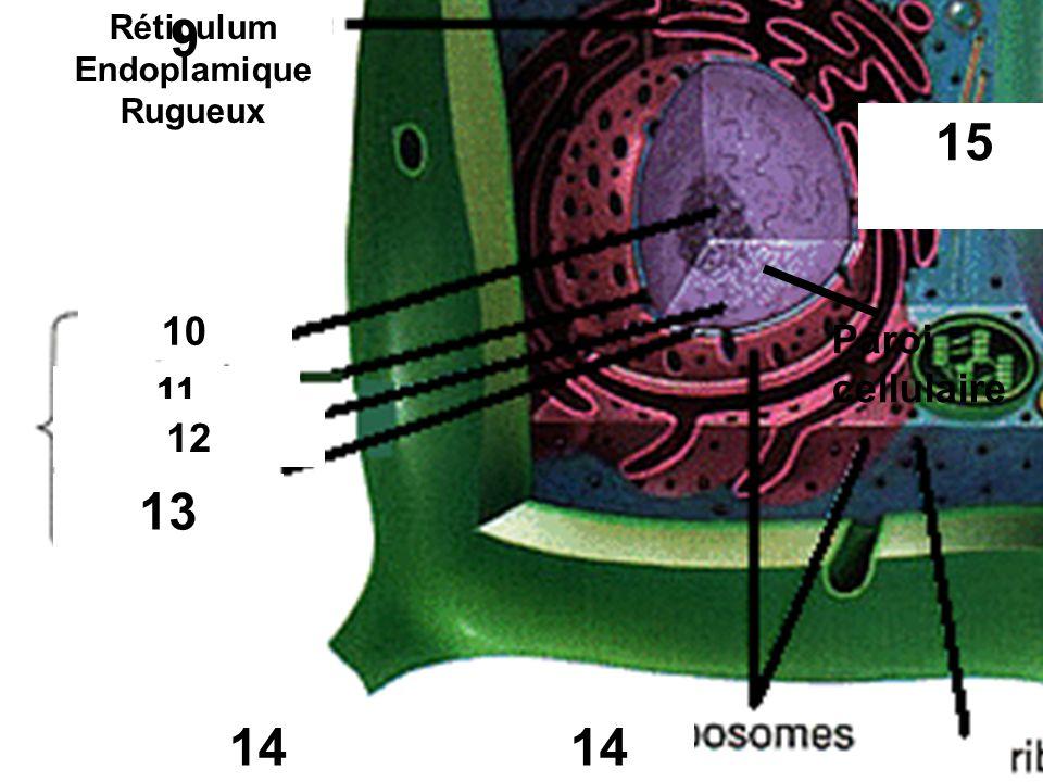 Réticulum Endoplamique Rugueux