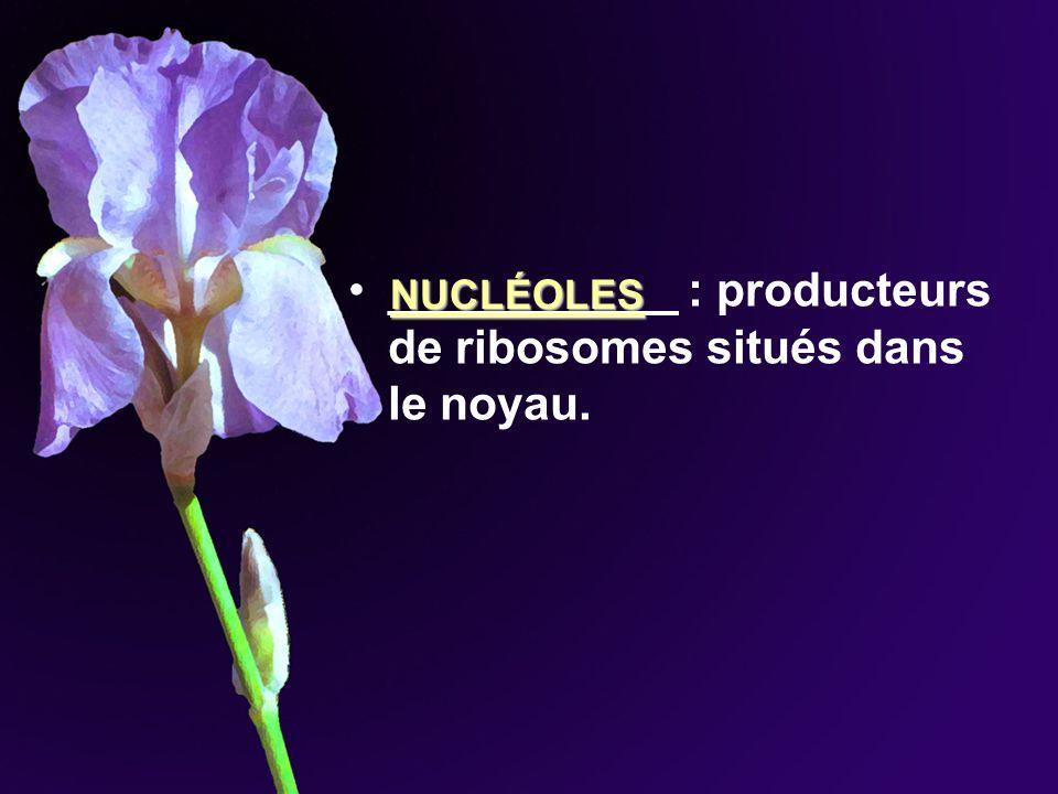 ___________ : producteurs de ribosomes situés dans le noyau.