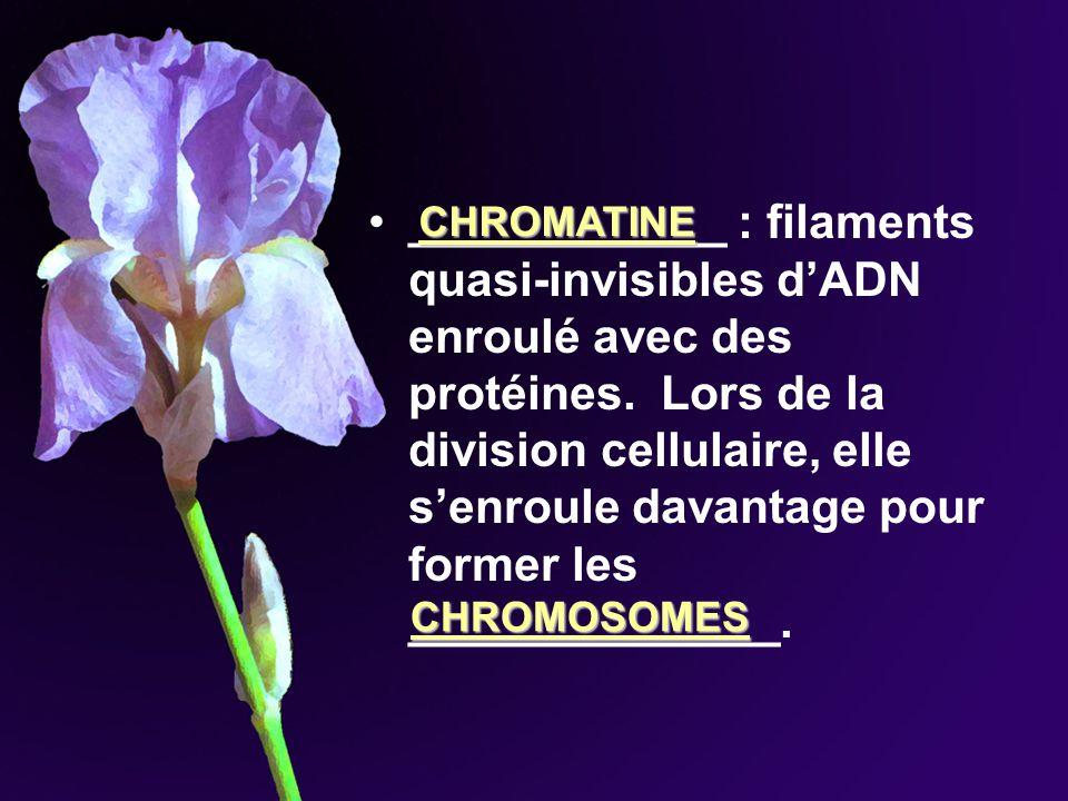 ____________ : filaments quasi-invisibles d'ADN enroulé avec des protéines. Lors de la division cellulaire, elle s'enroule davantage pour former les ______________.