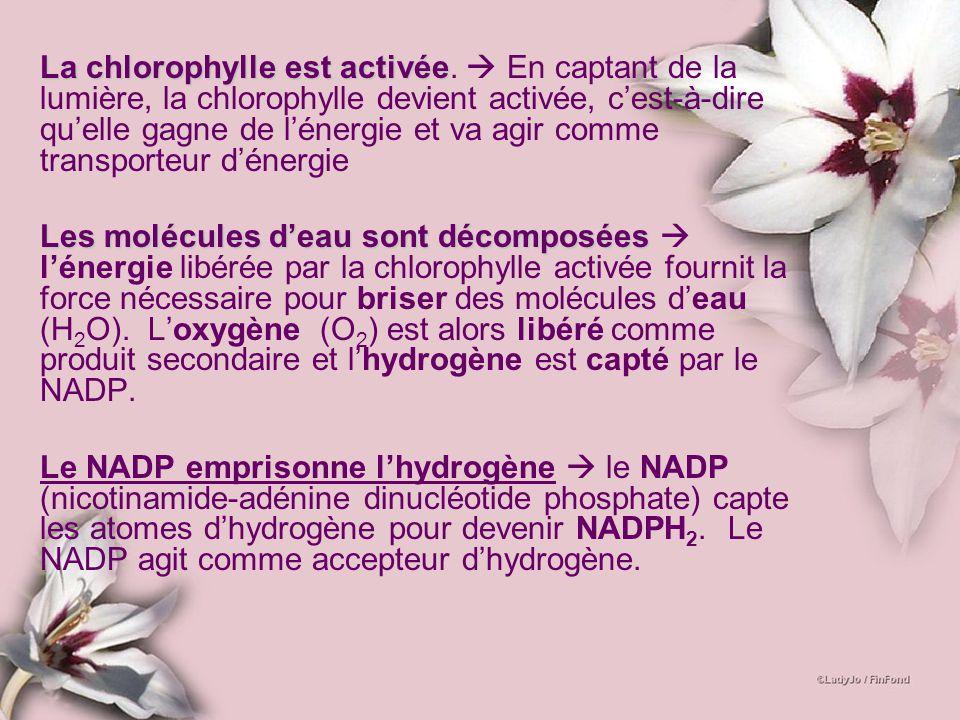 La chlorophylle est activée