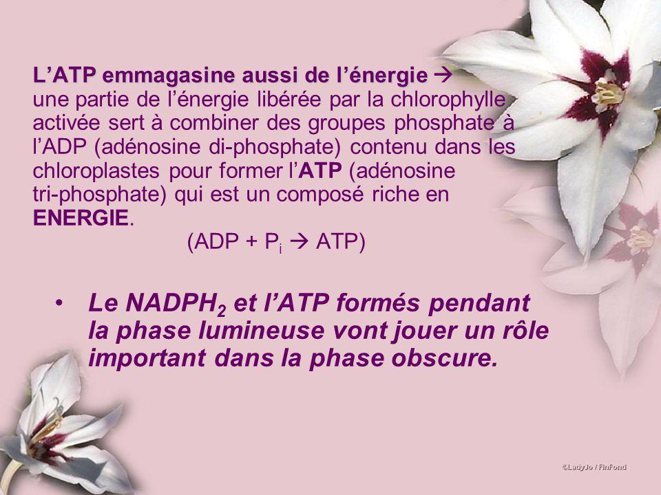 L'ATP emmagasine aussi de l'énergie  une partie de l'énergie libérée par la chlorophylle activée sert à combiner des groupes phosphate à l'ADP (adénosine di-phosphate) contenu dans les chloroplastes pour former l'ATP (adénosine tri-phosphate) qui est un composé riche en ENERGIE. (ADP + Pi  ATP)