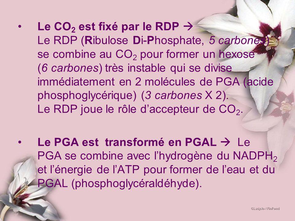 Le CO2 est fixé par le RDP  Le RDP (Ribulose Di-Phosphate, 5 carbones) se combine au CO2 pour former un hexose (6 carbones) très instable qui se divise immédiatement en 2 molécules de PGA (acide phosphoglycérique) (3 carbones X 2). Le RDP joue le rôle d'accepteur de CO2.