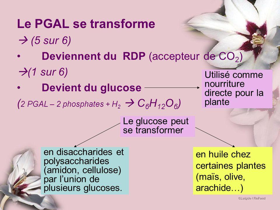Le PGAL se transforme  (5 sur 6) Deviennent du RDP (accepteur de CO2)