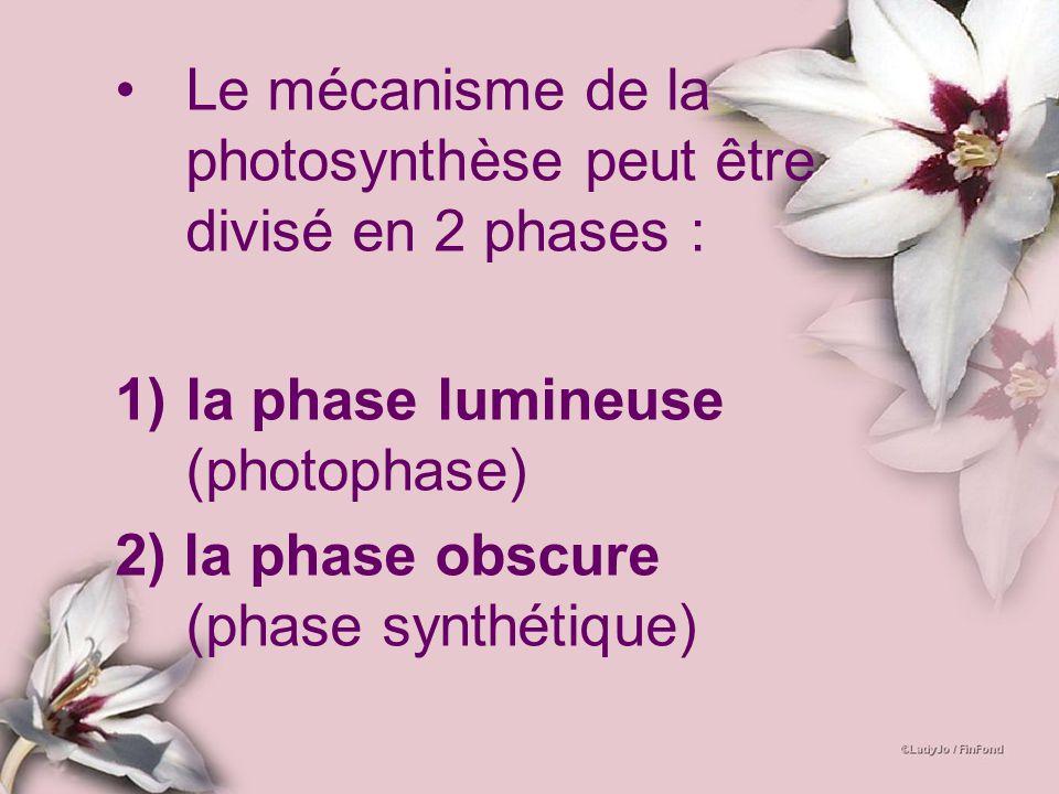 Le mécanisme de la photosynthèse peut être divisé en 2 phases :