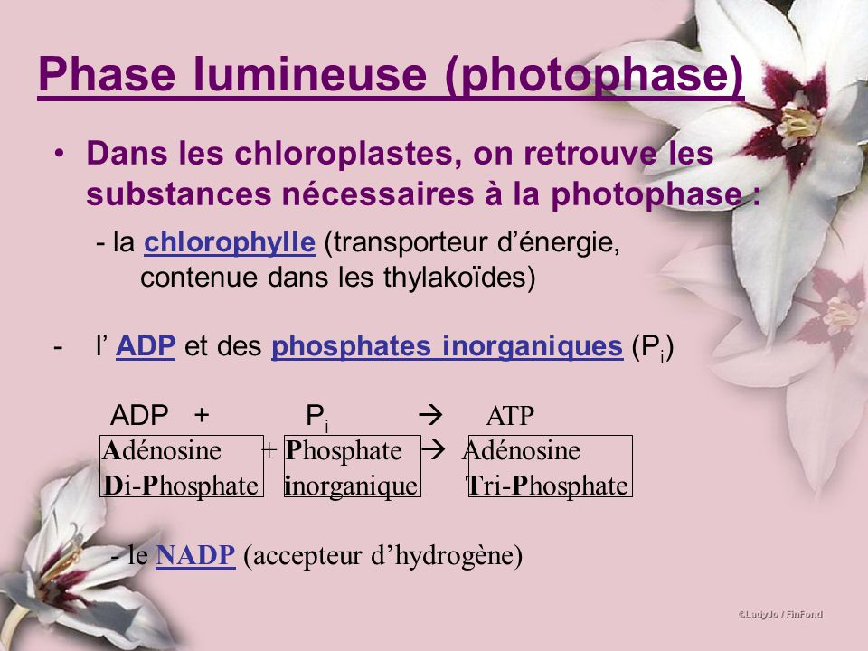 Phase lumineuse (photophase)
