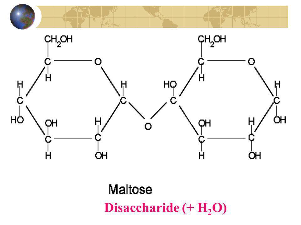 Disaccharide (+ H2O)