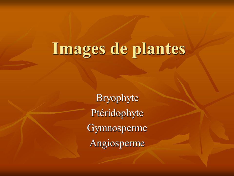 Bryophyte Ptéridophyte Gymnosperme Angiosperme