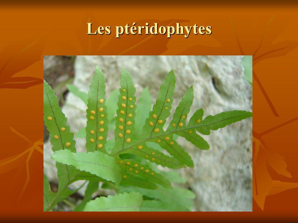 Les ptéridophytes