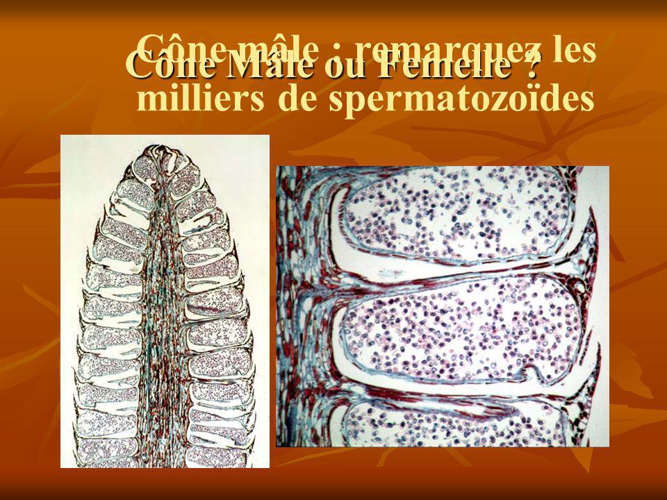 Cône Mâle ou Femelle Cône mâle : remarquez les milliers de spermatozoïdes