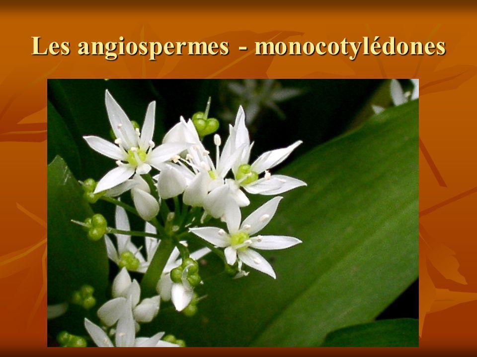 Les angiospermes - monocotylédones