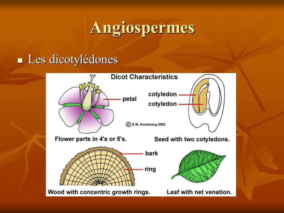 Angiospermes Les dicotylédones