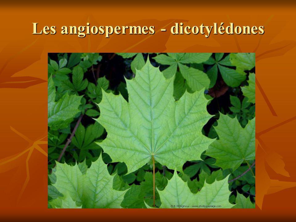 Les angiospermes - dicotylédones