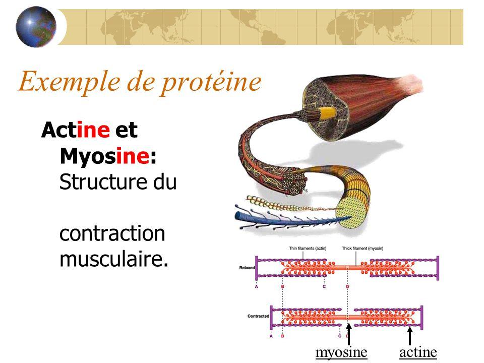 Exemple de protéine Actine et Myosine: Structure du muscle, contraction musculaire. myosine actine