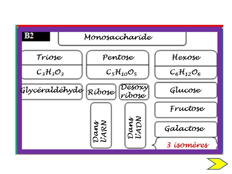 Monosaccharide Triose. Pentose. Hexose. C3H3O3. C5H10O5. C6H12O6. Désoxy ribose. Glycéraldéhyde.