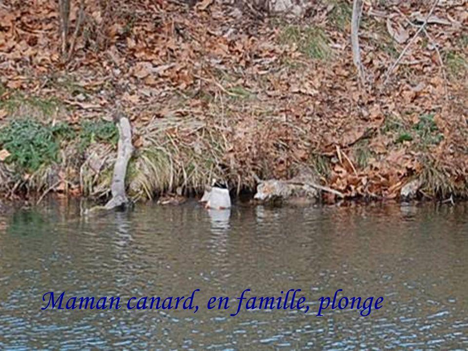 Maman canard, en famille, plonge