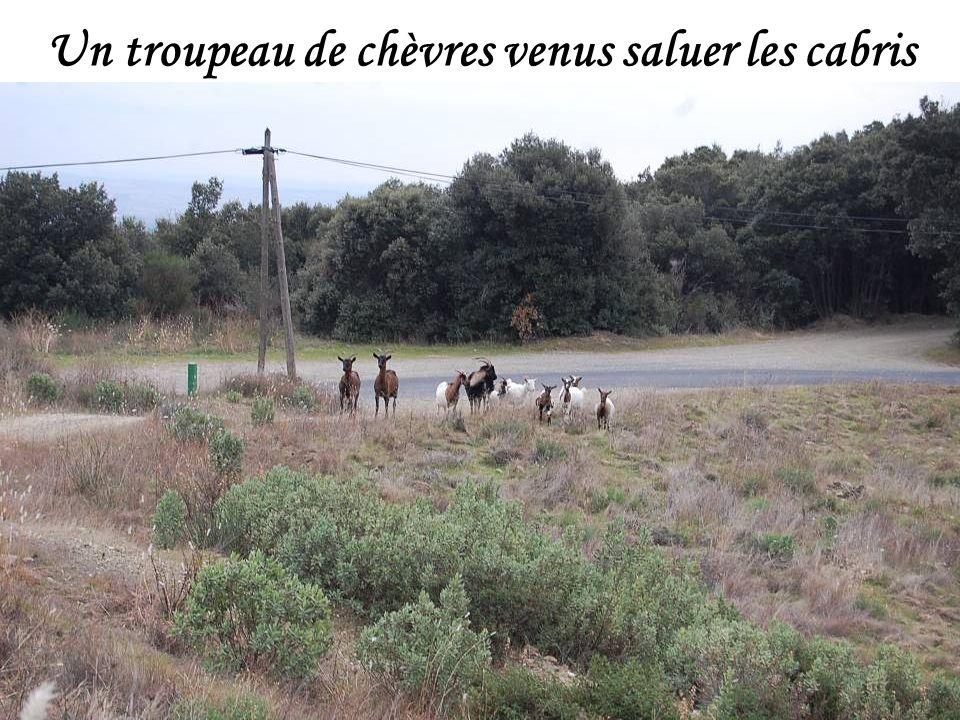 Un troupeau de chèvres venus saluer les cabris