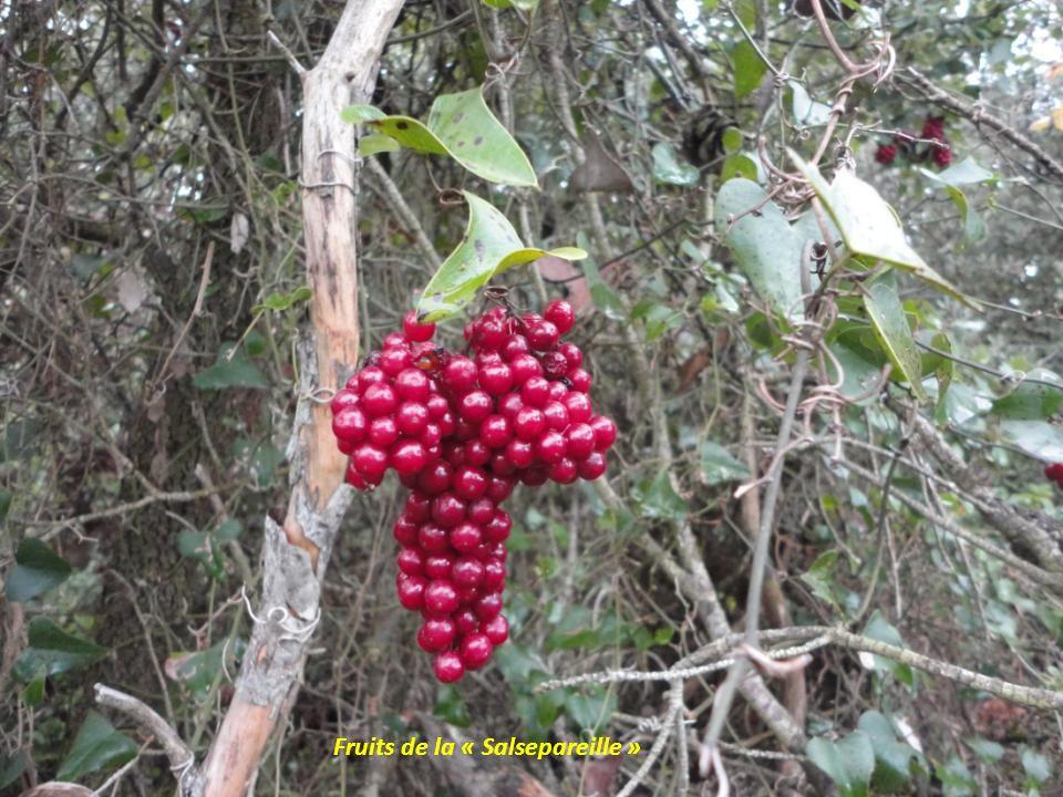 Fruits de la « Salsepareille »