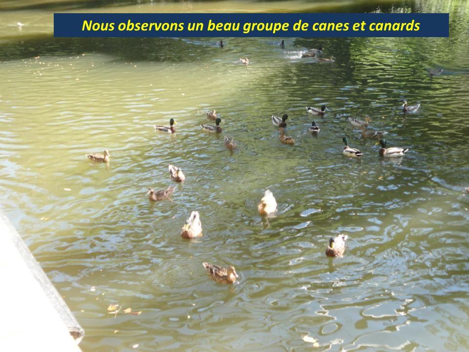 Nous observons un beau groupe de canes et canards