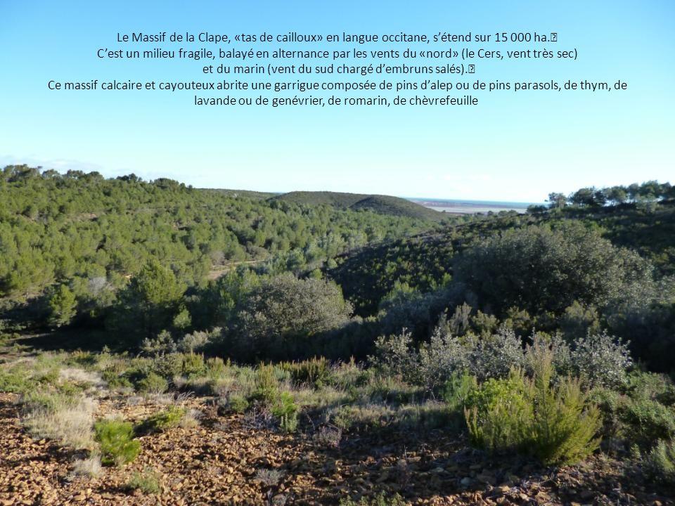Le Massif de la Clape, «tas de cailloux» en langue occitane, s'étend sur 15 000 ha. C'est un milieu fragile, balayé en alternance par les vents du «nord» (le Cers, vent très sec) et du marin (vent du sud chargé d'embruns salés). Ce massif calcaire et cayouteux abrite une garrigue composée de pins d'alep ou de pins parasols, de thym, de lavande ou de genévrier, de romarin, de chèvrefeuille