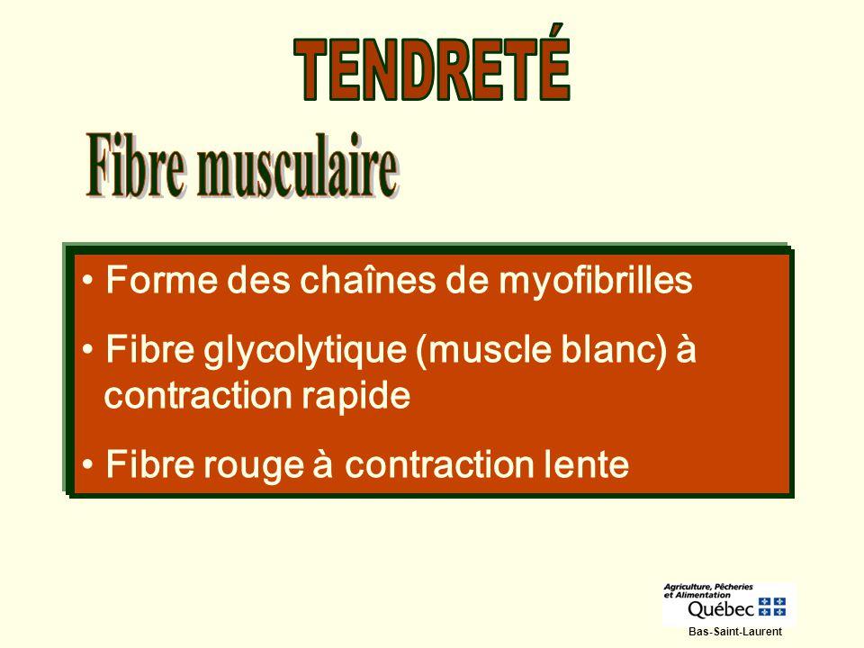 TENDRETÉ Fibre musculaire Forme des chaînes de myofibrilles
