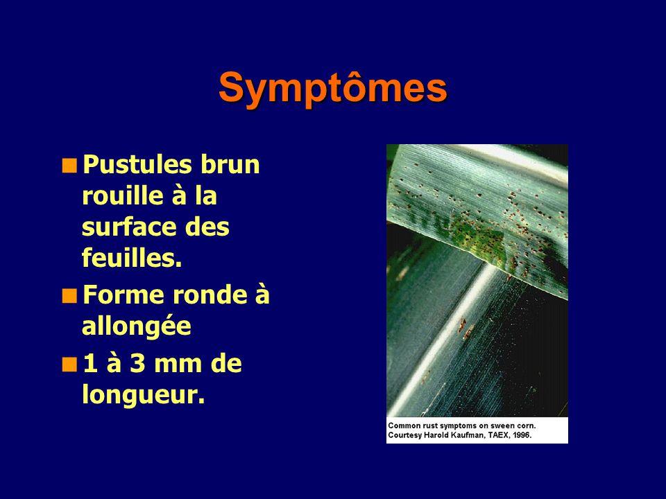 Symptômes Pustules brun rouille à la surface des feuilles.