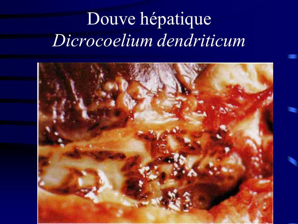 Douve hépatique Dicrocoelium dendriticum