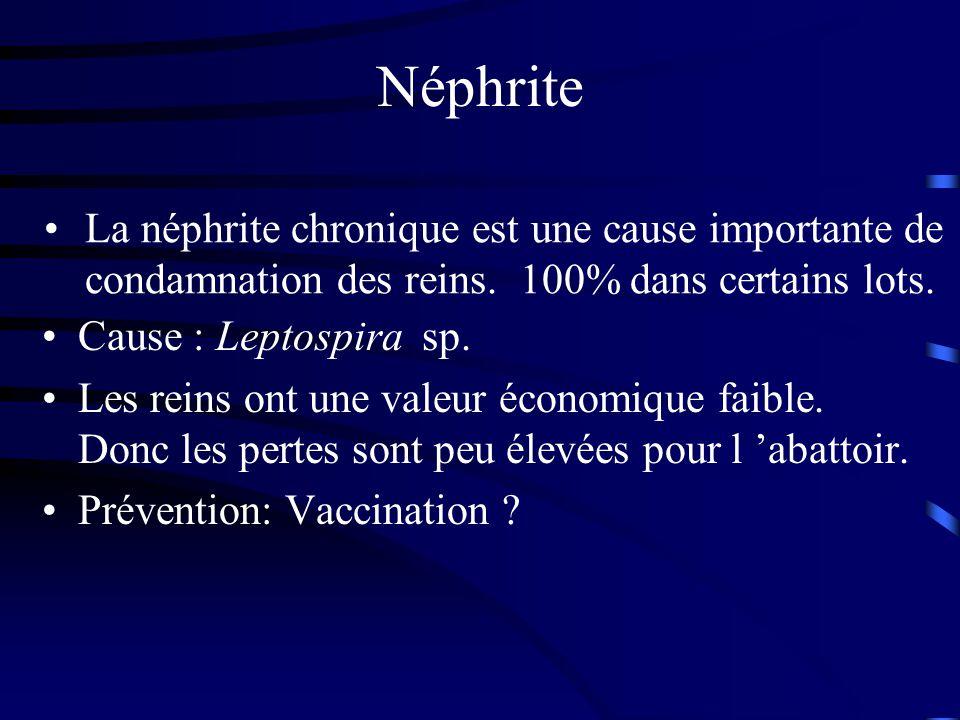 Néphrite La néphrite chronique est une cause importante de condamnation des reins. 100% dans certains lots.