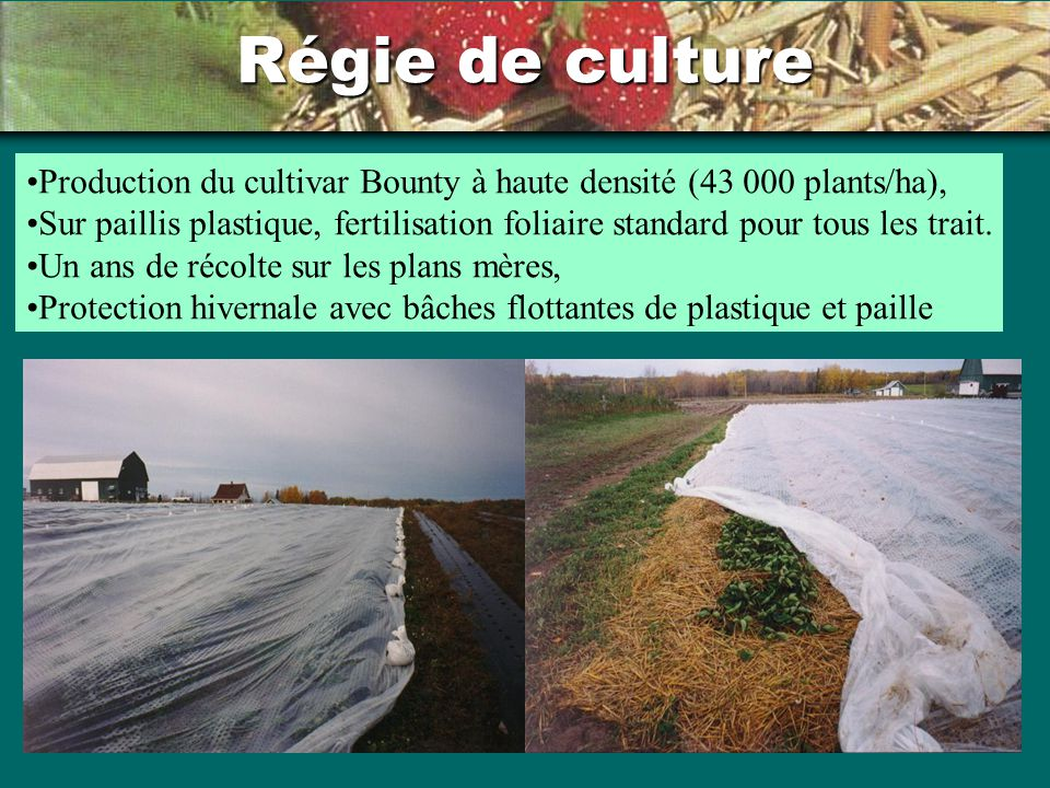 Régie de culture Production du cultivar Bounty à haute densité (43 000 plants/ha),