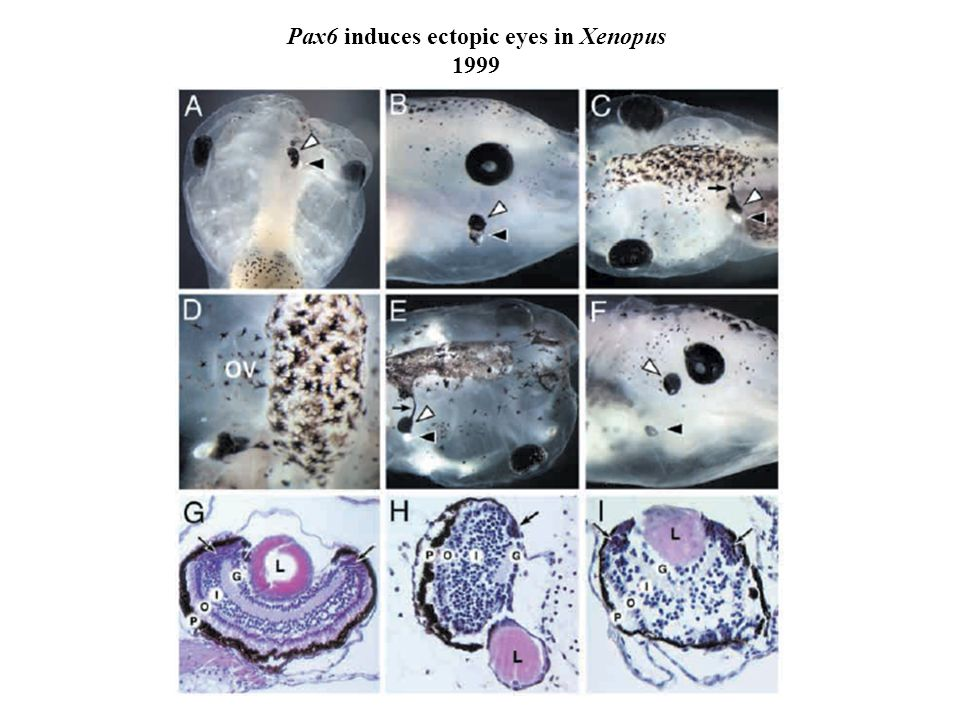 Pax6 induces ectopic eyes in Xenopus