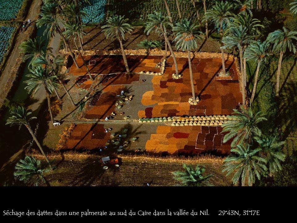 Séchage des dattes dans une palmeraie au sud du Caire dans la vallée du Nil. 29°43N, 31°17E