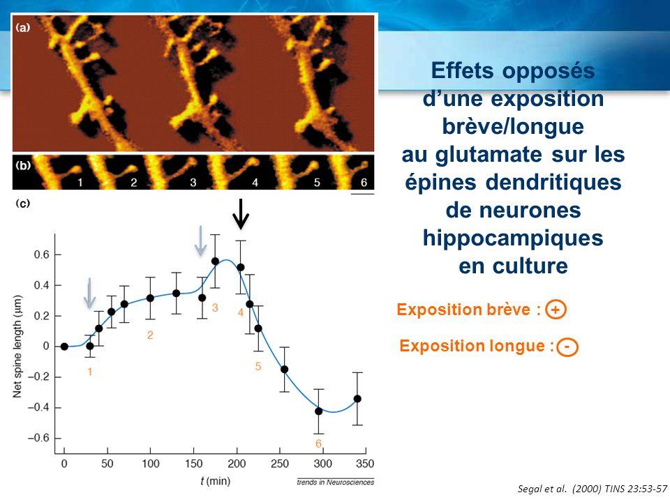 d'une exposition brève/longue au glutamate sur les épines dendritiques