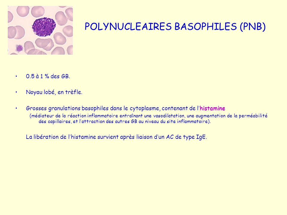 POLYNUCLEAIRES BASOPHILES (PNB)