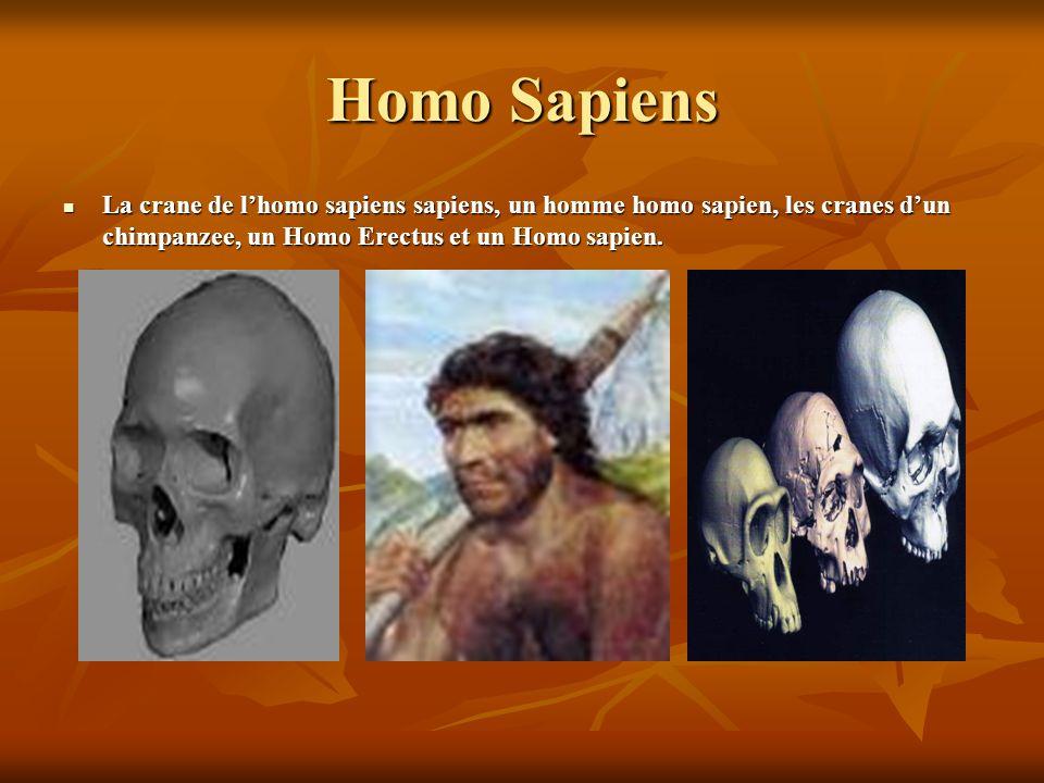 Homo Sapiens La crane de l'homo sapiens sapiens, un homme homo sapien, les cranes d'un chimpanzee, un Homo Erectus et un Homo sapien.