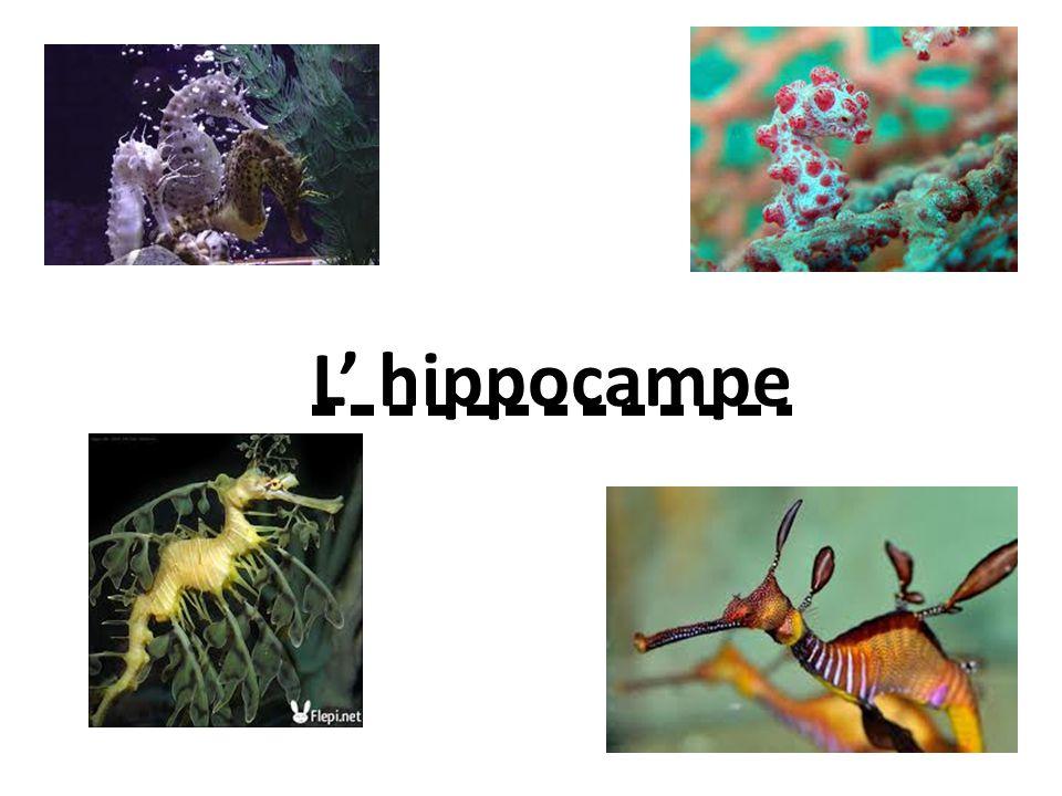 L' hippocampe