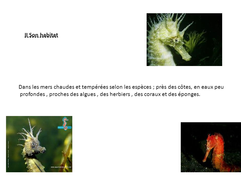 II Son habitat Dans les mers chaudes et tempérées selon les espèces ; près des côtes, en eaux peu.