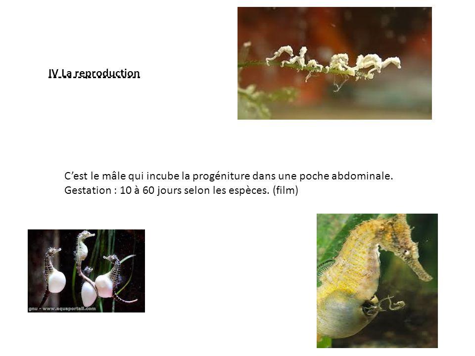 IV La reproduction C'est le mâle qui incube la progéniture dans une poche abdominale.