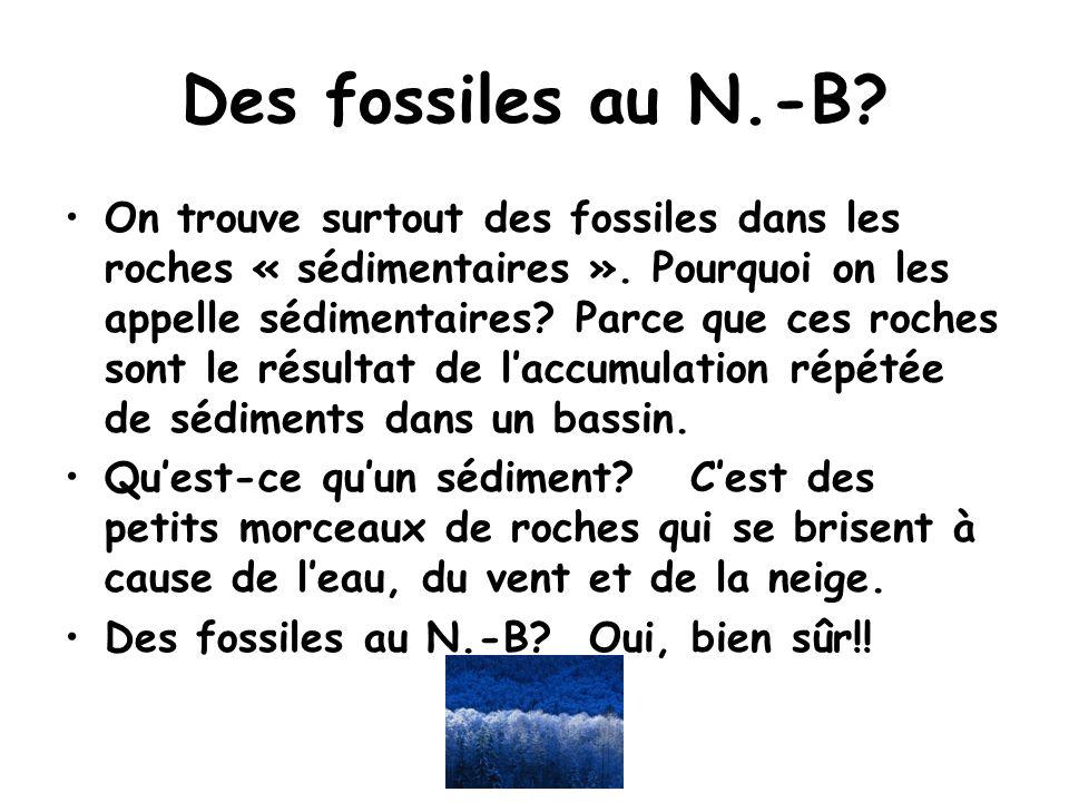 Des fossiles au N.-B