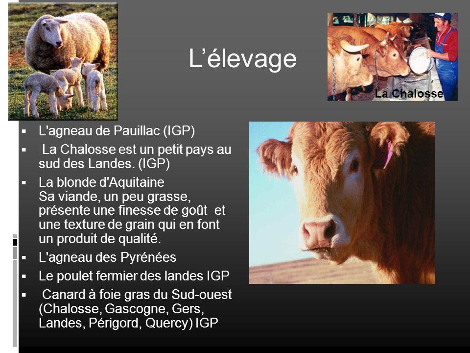L'élevage L agneau de Pauillac (IGP)